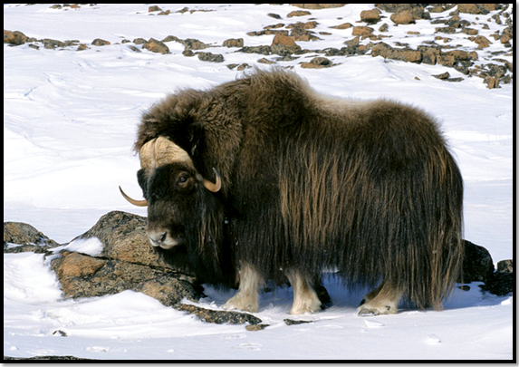 animaux-bison-neige-hiver-montagne