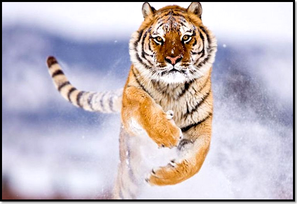 animaux-neige-tigre-hiver