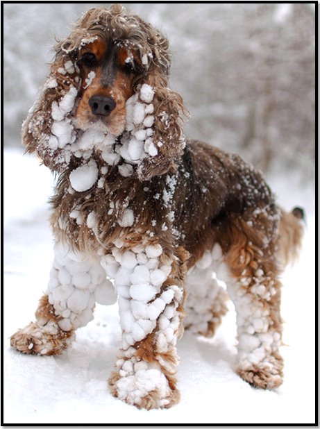 chien-cocker-neige-glace-hiver