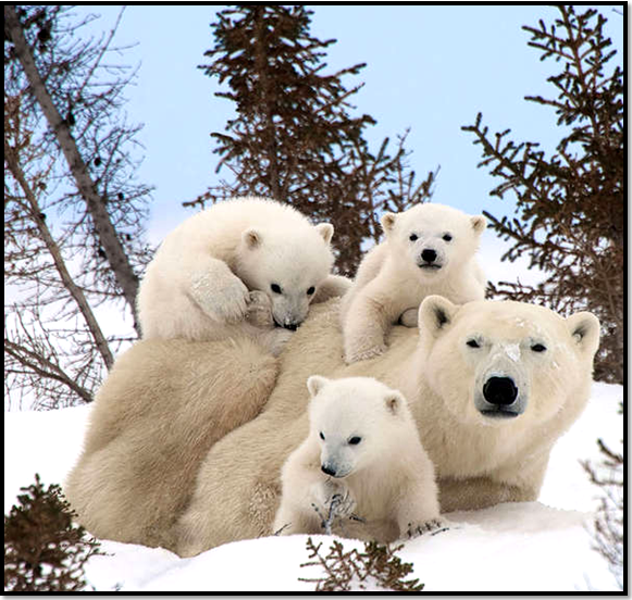 montagne-animaux-ours-neige